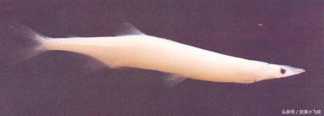 史上最霸氣的魚:傳說吃了順治帝爽得沒鰾,印證鄭成功炮轟順治帝