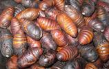 """超市中賣的""""蠶蛹""""就是它們的蛹"""