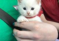 小奶貓,是被金毛抱大的,這是有多幸福?!
