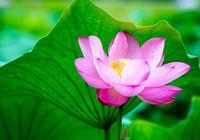 南京莫愁湖公園荷花盛開,一池清香