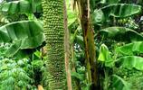 這香蕉樹上到底有多少香蕉啊,密密麻麻