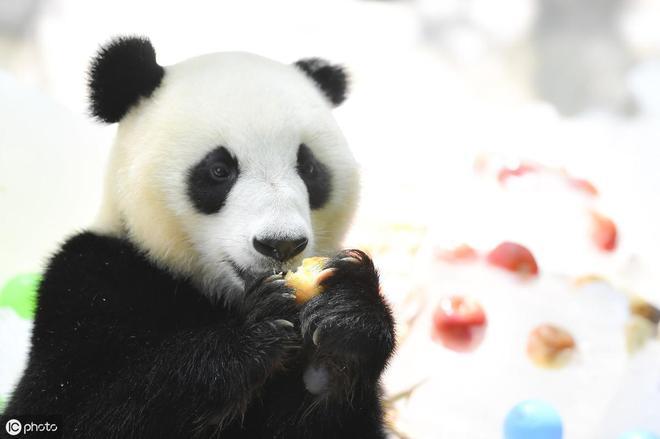 睡覺賣萌的大熊貓