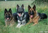 德國牧羊犬之黑背,德國牧羊犬大概多少錢,奔走相告