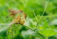 棕扇 尾鶯
