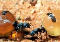 奇幻食品——螞蟻當甜品