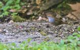 動物圖集:大樹鶯