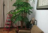 幸福樹長的很茂盛,要不要修剪,捨不得修剪的幸福樹其實不幸福