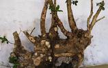 黃楊下山樁一般帶土球,用塑料編織袋包裹,有的已是熟貨了!
