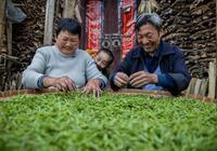 黃山毛峰春茶俏銷