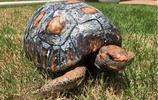 一場大火,這隻烏龜失去了龜殼,科學家幫它打印了一個!