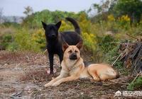 生活中的柴犬有表情包上的漂亮嗎?