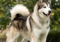 世界犬種-阿拉斯加雪橇犬