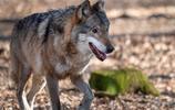 奔跑的狼:是狼,就要有狼性。