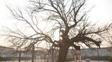 衡水這個小村莊有一顆千年古槐樹,枯死後又出新芽,被當地人膜拜