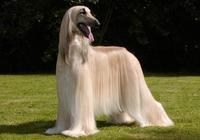 阿富汗獵犬:世界最高貴、最笨的犬種,但它可任性出入五星級酒店