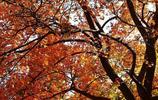 香山賞紅葉