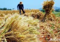 """農村俗語""""四月芒種麥在前,五月芒種麥在後""""是什麼意思?有道理嗎?"""