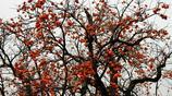 掛在樹上自然風乾的柿子,你吃過嗎?純綠色無汙染,特別甜