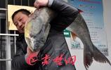 88斤,1.6米長!丹江口水庫撈起巨無霸鱤魚