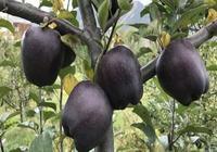 建議家有6畝山頭的,別忘了種上這果樹!沾土便能活,隨摘隨吃