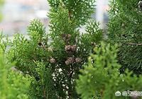 松柏樹怎麼移成活好?