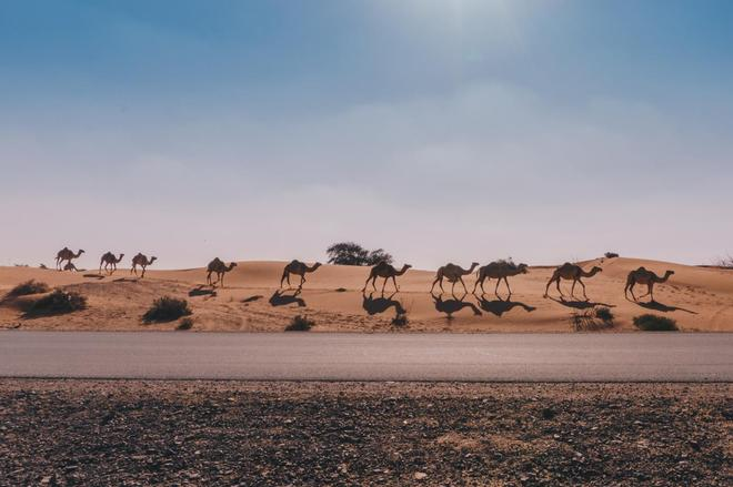 在沙漠中,他們以駱駝為生,世世代代都會圈養駱駝