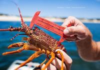 澳洲龍蝦是到底是幾種龍蝦?
