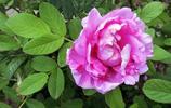 綻放的玫瑰