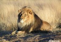 棕熊和雄獅哪個厲害?