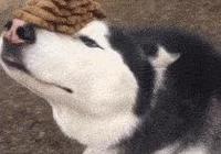 從小和哈士奇長大的比特犬,被哈士奇帶的氣質全無