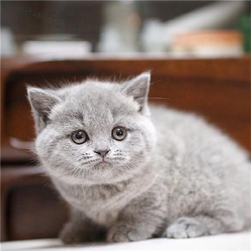 英短藍貓對主人忠誠嗎?英短藍貓壽命有多長?
