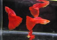 飼養觀賞魚,除非對魚缸的水質有絕對的信心,才敢做如下的實驗!