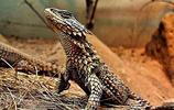 國家地理攝影圖集:南非犰狳蜥 轉