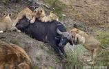 落單水牛慘遭獅群攻擊,下一秒人們無比敬佩水牛的勇敢,水牛簡直吊炸天了