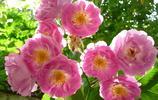 植物圖集:薔薇