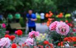 華北地區月季最多的公園,原來在石家莊,遊園停車都免費。