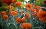 自然風光圖集:罌粟