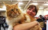 最佳炫富方式——養一隻緬因貓,別人會以為你家有礦!