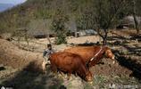 單身漢住在大山裡  住土房子20畝地養2頭牛  自由自在生活有奔頭