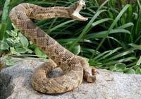 農村老人說有一種蛇會在莊稼上面飛跑,這是什麼蛇,有毒嗎?