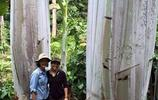一根香蕉4斤重,全球最大香蕉樹高18米,長出的香蕉一根吃兩天