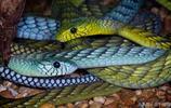 黑曼蛇屬,5種劇毒的曼巴蛇