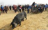 豬其實並不笨它非常聰明 黑豬拉車你坐過嗎?