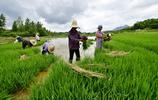 金溪黃通:大面積種植有機稻,美了山村富了民(組圖)