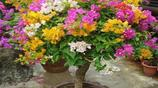 閨蜜來家裡做客,被我家樹樁花卉美呆了,花開富貴觀賞性高