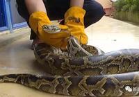 廣西一工地驚現大蟒蛇!長約3米重達30斤!