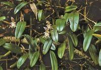 """這種蘭花長在""""石頭縫""""裡,顏值高還耐養,養在家裡提升品位!"""