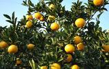 在農村,可以種植的桔子有哪些常見的品種?