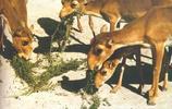 高鼻羚羊:分佈範圍