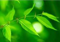 我的降糖樹葉上長了小蚜蟲怎麼辦?